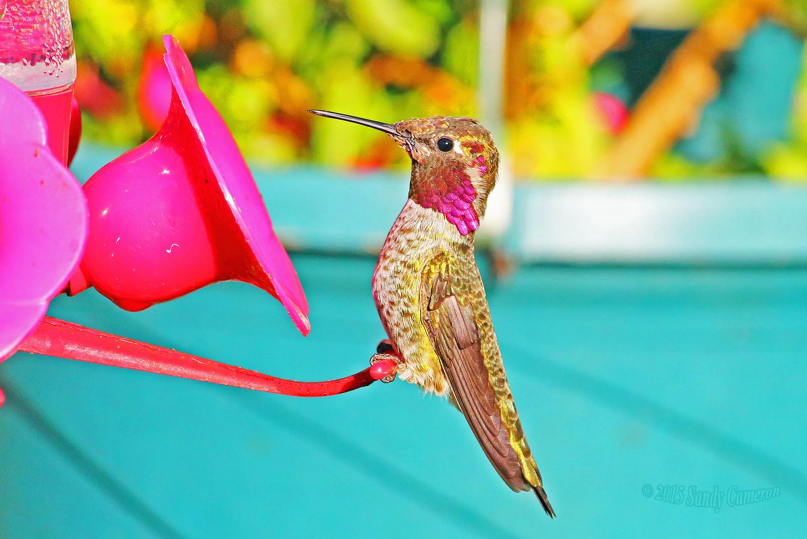 Anna's Hummingbird 15-0930-9403