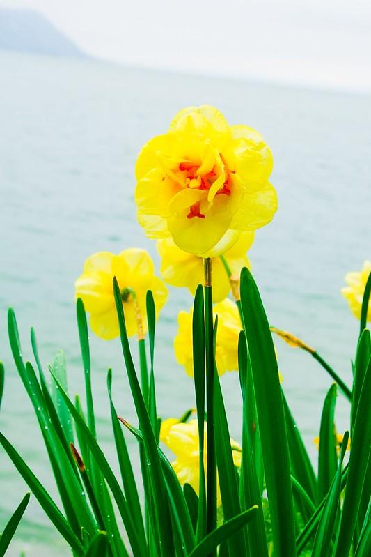 flowers, Lake Geneva, the Alps