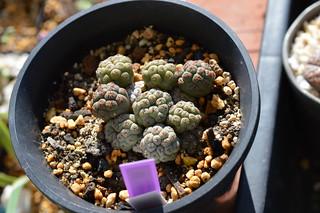 DSC_4570 Tephrocactus bonnieae  テフロカクタス ボンニエアエ Maihueniopsis bonnieae  Puna bonnieae