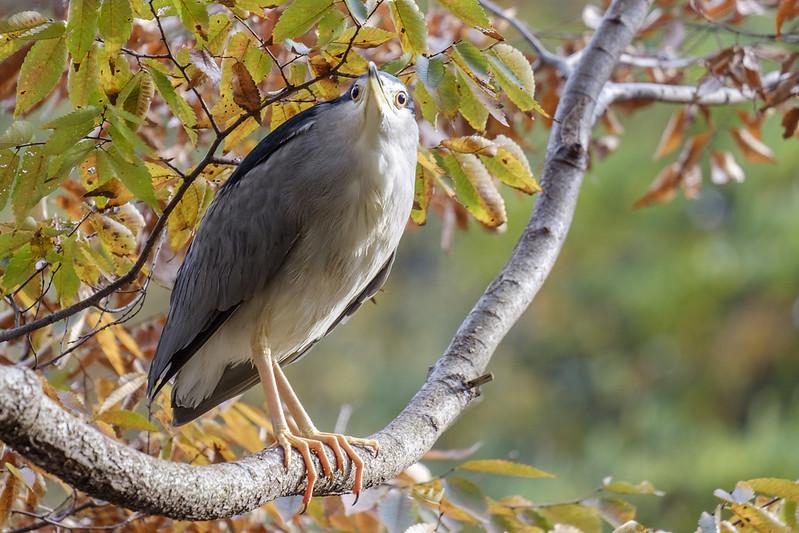 night heron / ゴイサギ