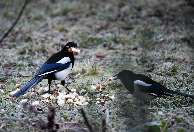 Magpies 01.12 (3)
