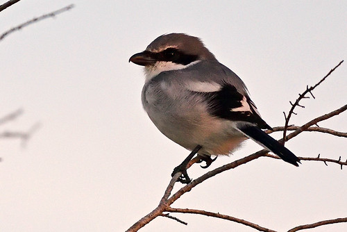 Viera Wetlands, FL: Loggerhead Shrike close-[