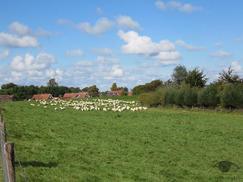 Schönwetter-Schafe
