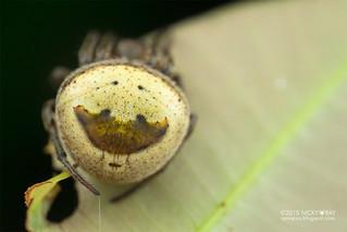 Orb weaver spider (Ocrepeira covillei) - DSC_1939