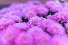 Chrysanthemum Festival-46