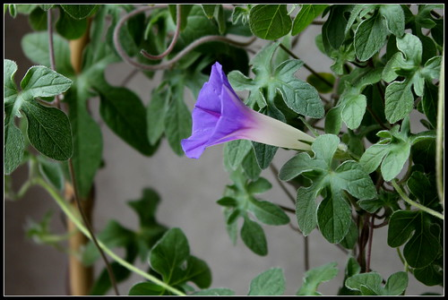 Ipomoea sp., Kruger's Park, RSA - ipomée du parc Kruger 30477993676_9de04110c5
