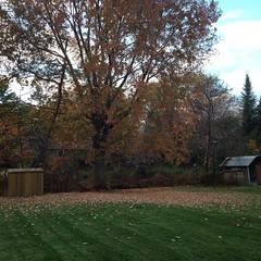 Tree is about half bare now, cannot get over how many leaves dropped since Saturday #autumn #fall #ygk