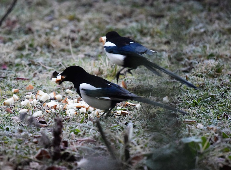 Magpies 01.12 (5)