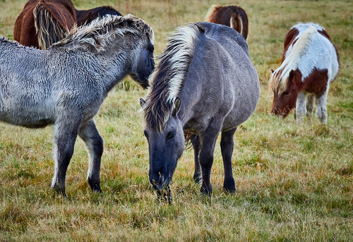 Icelandic Ponies Together