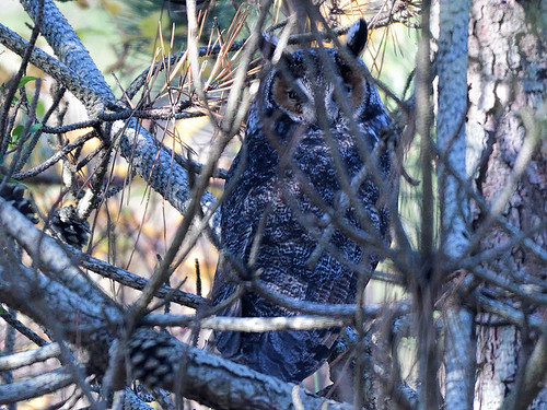 Jones Beach: Long-eared Owl 1