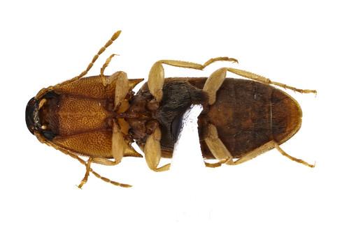 マダラチビコメツキ Prodrasterius agnatus (Candèze, 1873)-2-2