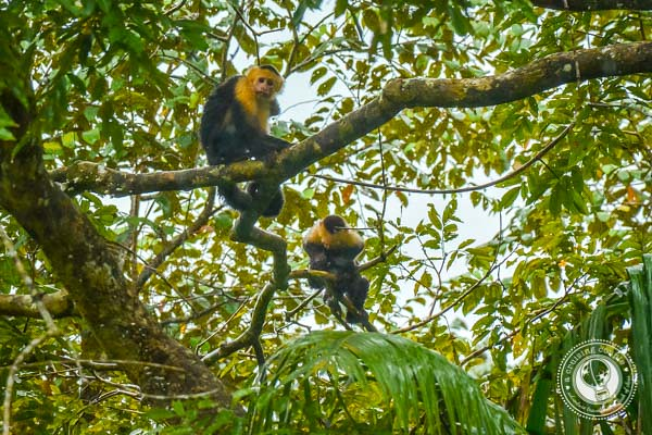 Capuchin Monkeys in Sierpe