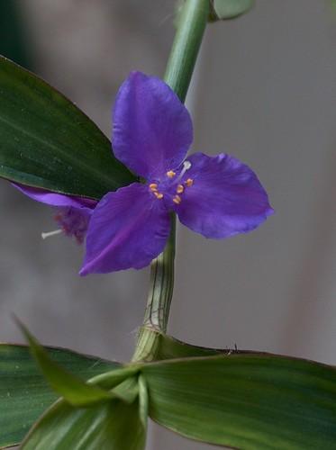 Coleotrype natalensis 30789183100_fd1f231388