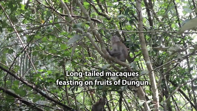 Long-tailed macaques (Macaca fascicularis) feasting on Dungun (Heritiera littoralis) fruits