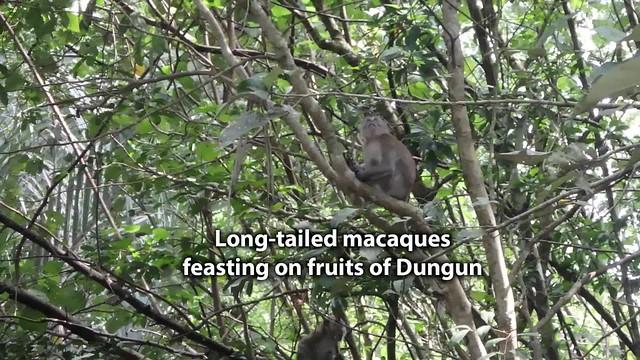 Long-tailed macaques (Macaca fascicularis) feasting on Dungun (Heritiera littoralis) fruits