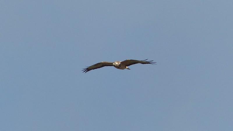 Greifvogel überm Selztal zwischen Elsheim und Nieder-Olm