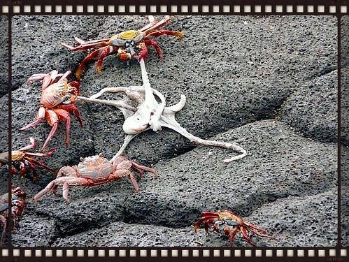 crabs win...octopus loses