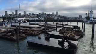 Video of the sea lions at Pier 39 San Francisco
