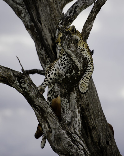 Chitabe Leopard | by fademphotos