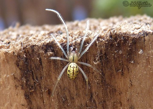 Comb-footed Spider (Enoplognatha ovata) | by fetler2002