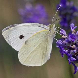 Small White butterfly (Pieris rapae) | by Roland Bogush
