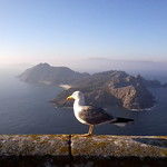 Seagull in Cies Islands / Gaivota nas Illas Cíes