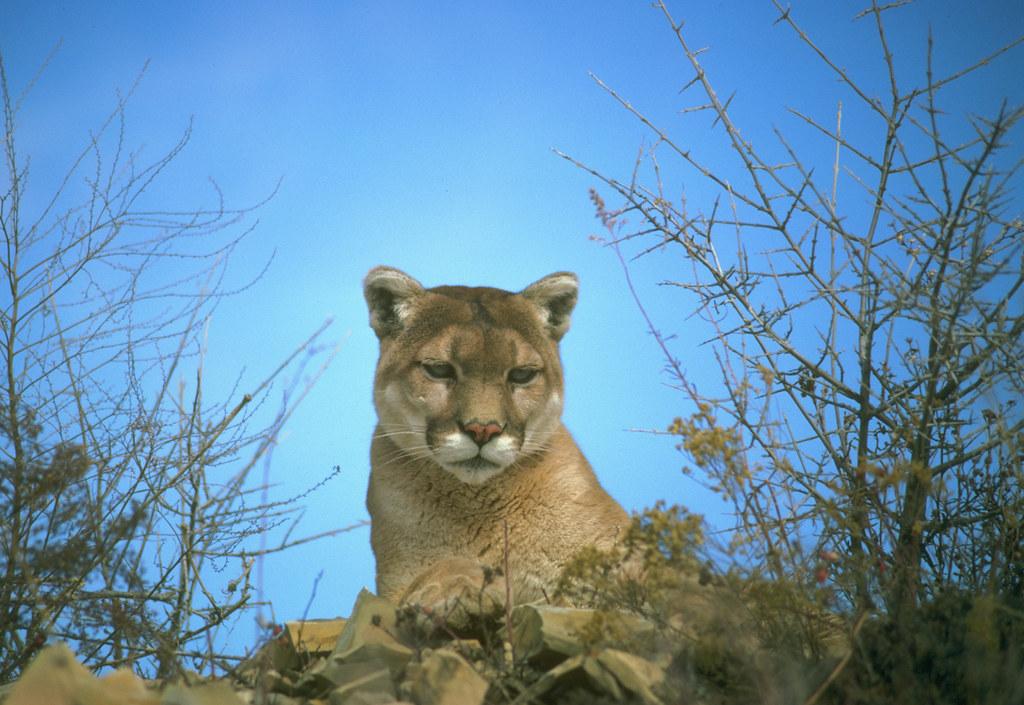 B Mobile Mountain Lion Big Cat Shootout - Lio...