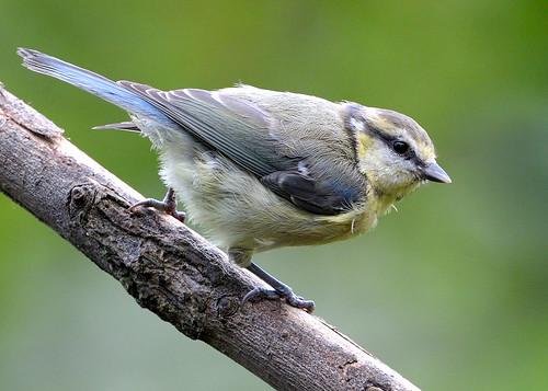 Blue Tit on an incline | by Rivertay07 - thanks for over 4 million views