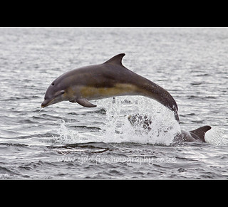 Moray Firth Dolphin Calf | by cjdolfin