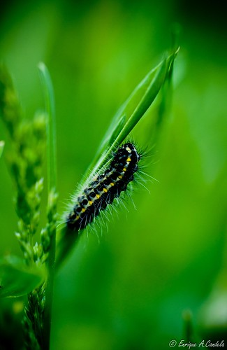 Oruga  / Caterpillar on green power | by hunter of moments