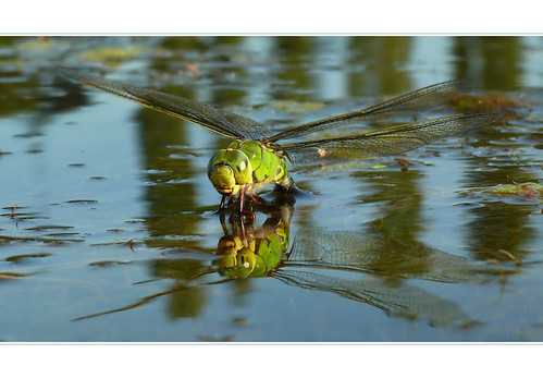 Involving a dragonfly eggs | by Pettys