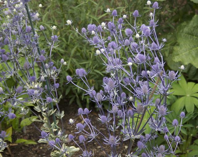 Tendrils: Eryngium tripartitum 'Jade Frost'