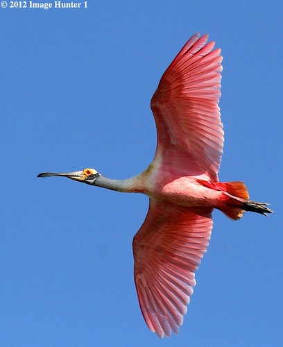Roseate Spoonbill - Freshwater City, Louisiana | by Image Hunter 1