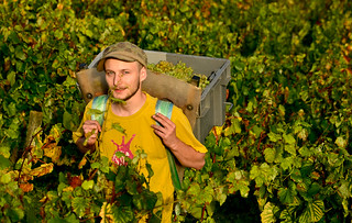 Porter - Burgundy Grape Harvest 2011 | by The Hungry Cyclist