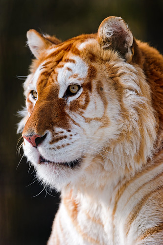 Portrait of the golden tiger | by Tambako the Jaguar