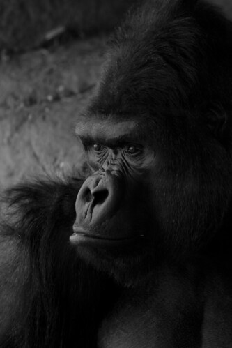 Silverback Gorilla | by Alex-Takes-Photos