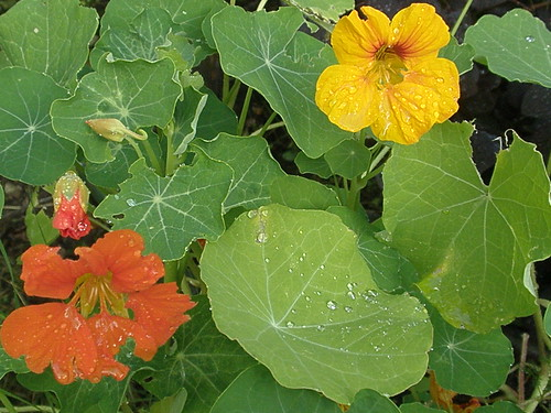 nasturtium leaves | by sammydavisdog