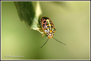 1490 tortoise beetle | by chandrasekaran a 34 lakhs views Thanks to all