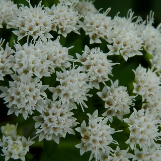 White Snakeroot | by Dendroica cerulea
