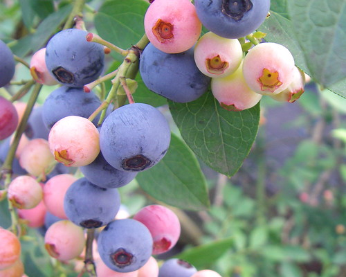Blueberry picking | by Blue Lotus