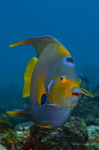 QUEEN ANGELFISH | by adri b brandao