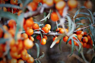 Sea Buckthorn | by Claire Fun