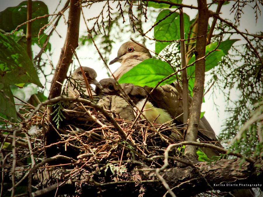 Yeruti / White-tipped Dove