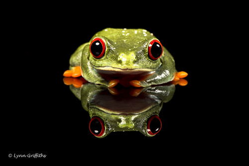 Red Eye Tree Frog and reflection D75_3005.jpg