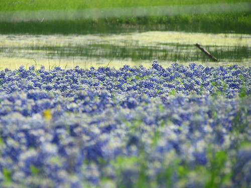 Texas Bluebonnets (Lupinus texensis) | by libraryrivergirl