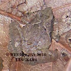 Microhylas genus