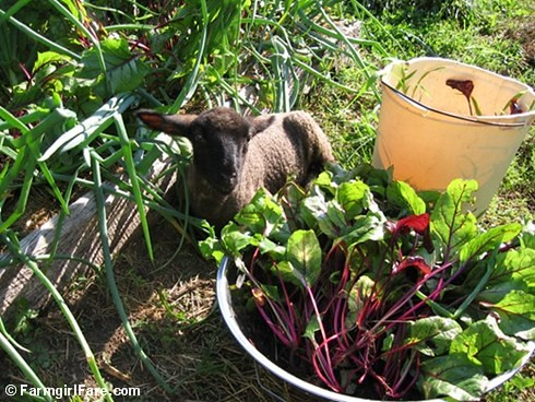 Thinning beet greens in the kitchen garden with baby Cary | by Farmgirl Susan