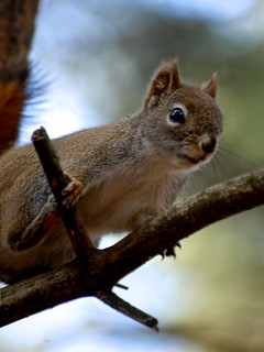redsquirrelclose | by mainesandy