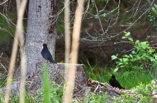 Territory confrontation - Blackbird | by Billy Lindblom