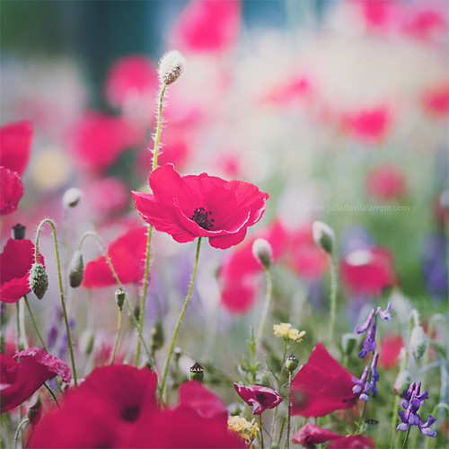 Every flower is a soul blossoming in nature. | by www.juliadavilalampe.com